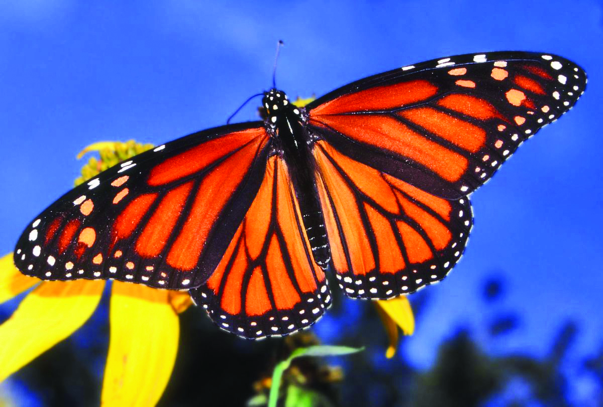 Charleston Residential Landscape Design - Monarch Butterfly