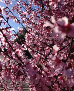 Charleston Landscaper Cherry Tree