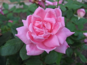 Charleston Landscaper Knockout Rose Shrub