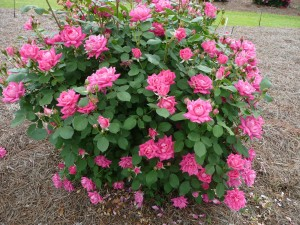 Charleston Landscaper best knockout rose bush