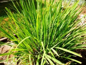 Charleston SC landscape design lemongrass
