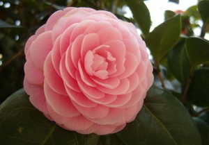 Lowcountry Vistas Charleston Camellia
