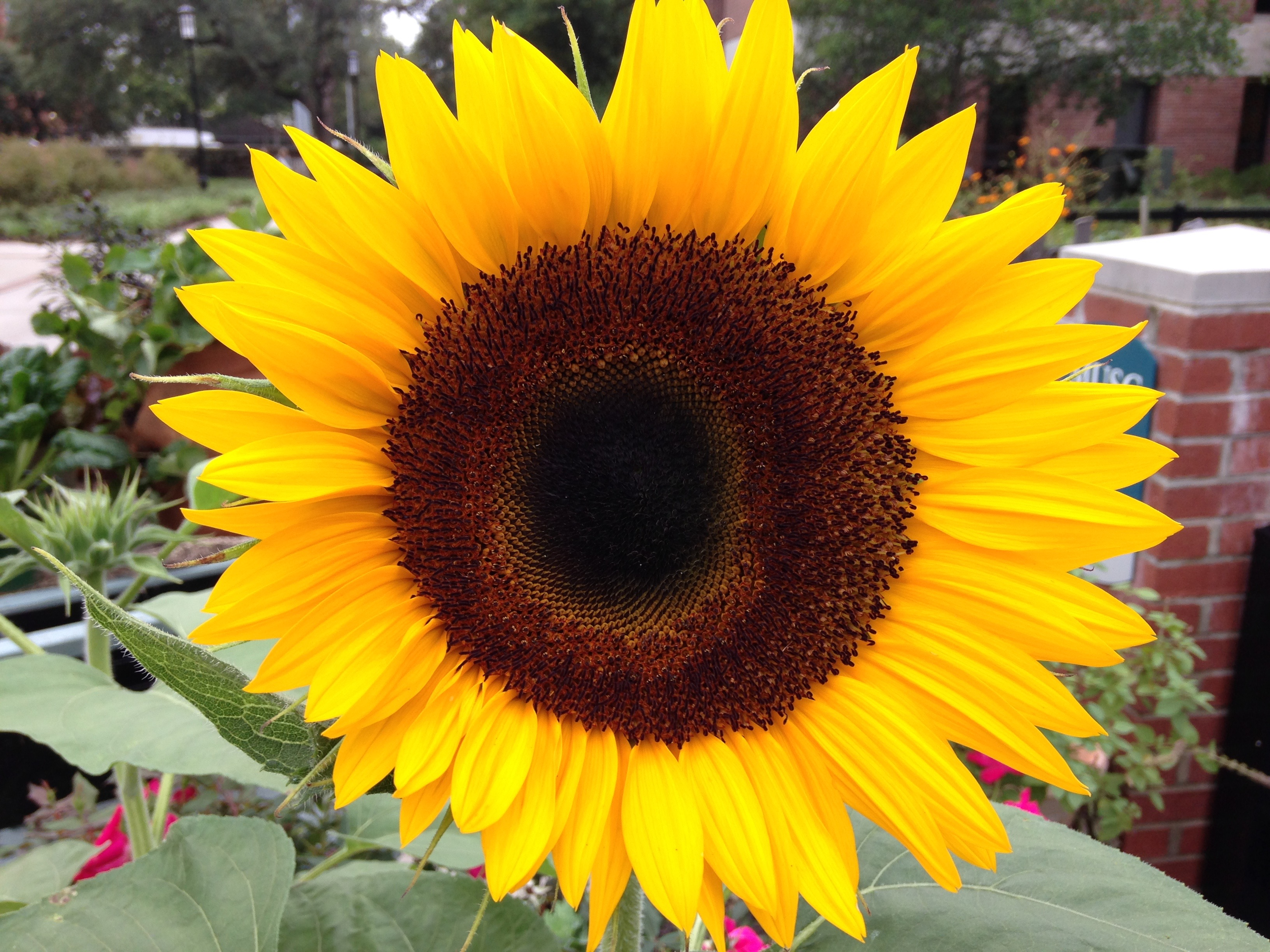 Charleston Residential Landscape Design - Sunflower