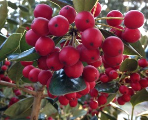 Lowcountry Vistas Charleston Landscaping holly