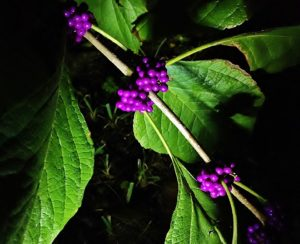 Seth Mason Charleston Landscaping Lighting Beauty Berries