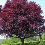 purpleleaf plum tree