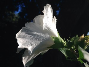 Lowcountry Vistas Charleston Landscaping Rose of Sharon 2