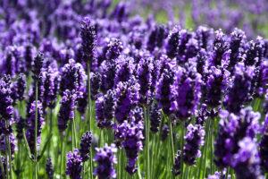 Charleston Landscape Design Lavender