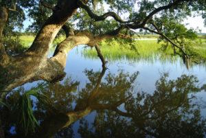 Charleston Landscape Design Live Oak Marsh Spanish Moss