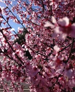 Charleston Landscaper Cherry Tree