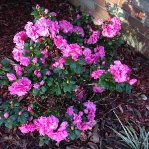 Charleston Landscaper Encore Azalea F