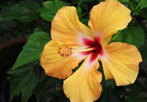 Charleston Landscaper Hibiscus