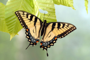 Charleston Landscaper Swallowtail Butterfly