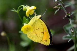 Charleston Landscaper Yellow Sulfur Butterfly