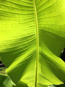 Charleston Residential Landscape Design Banana Plant