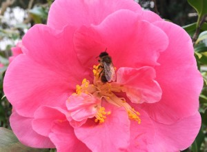Charleston Residential Landscape Design Camellia With Bee