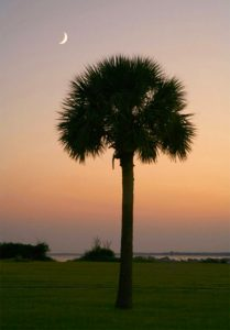 Charleston SC Landscape Design Sabal Palmetto