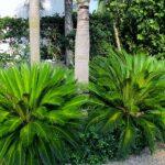 Charleston SC Landscape Design Sago Palms