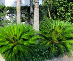 Charleston SC Landscape Design Sago Palms