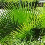 Saw Palm