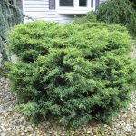 Shrub Type Juniper