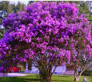 Charleston SC landscape design purple crepe myrtle