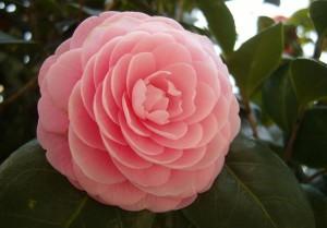 Lowcountry Vistas Charleston Camellia
