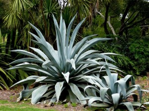 Lowcountry Vistas Charleston Landscaping Agave