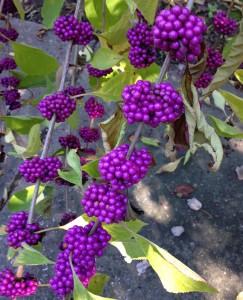 Lowcountry Vistas Charleston Landscaping Beauty Berries