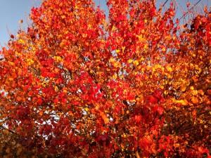 Lowcountry Vistas Charleston Landscaping Bradford pear - fall