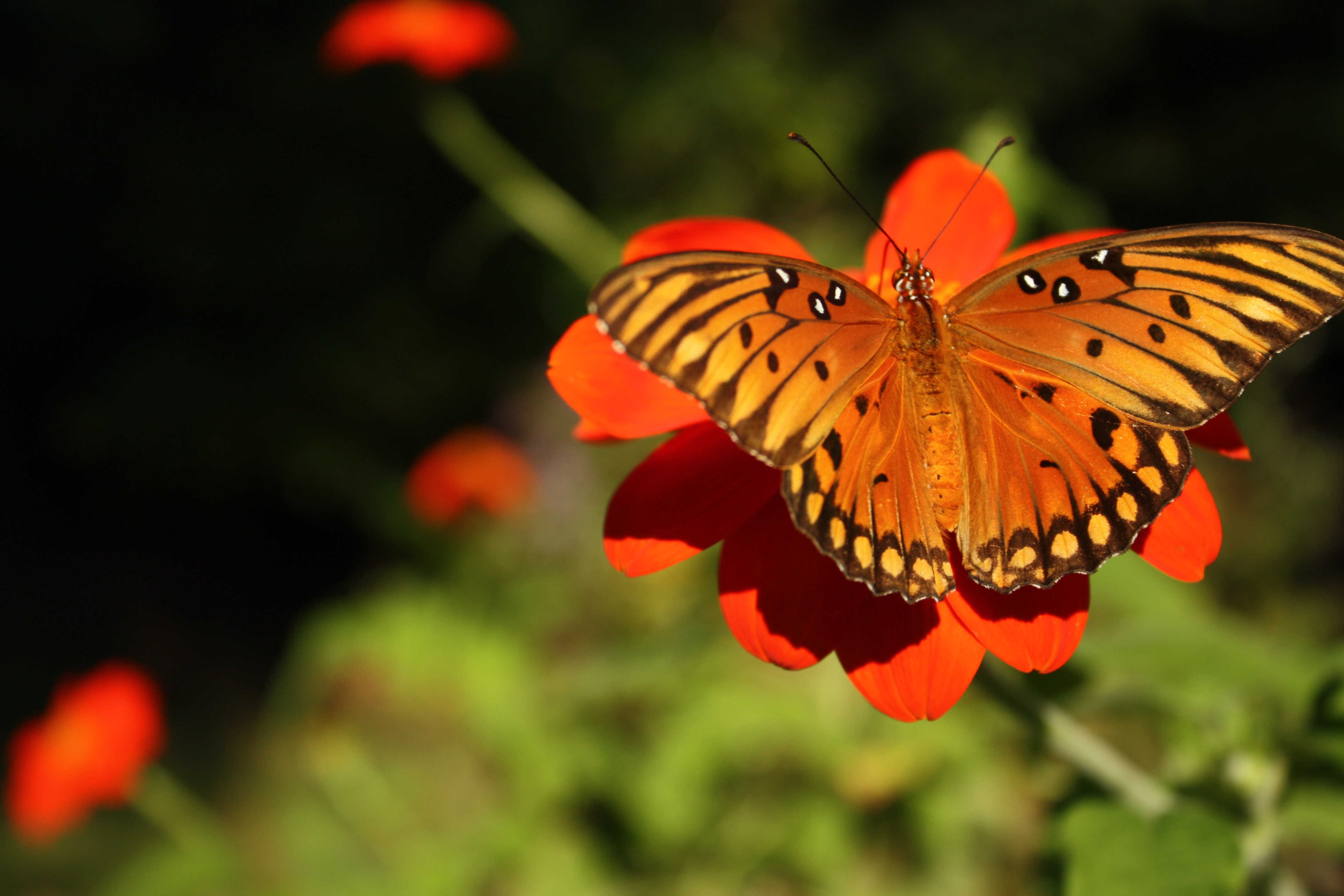 Charleston Residential Landscape Design - Butterfly on Mexican Sunflower