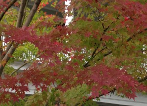 Lowcountry Vistas Charleston Landscaping Japanese maple
