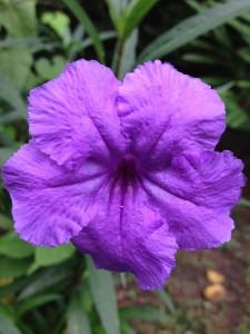 Lowcountry Vistas Charleston Landscaping Mexican Petunias