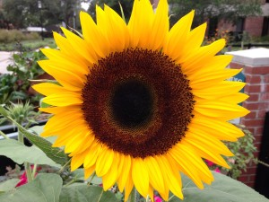 Lowcountry Vistas Charleston Landscaping Sunflower