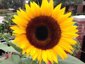 Lowcountry Vistas Charleston Landscaping Sunflower