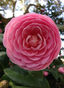 Lowcountry Vistas Charleston Landscaping perfect camellia