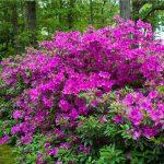 violet azalea