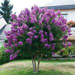 violet/purple crepe myrtle