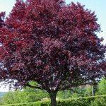 purpleleaf plum tree