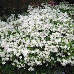 white azaleas